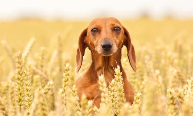 Getreide-Mythos